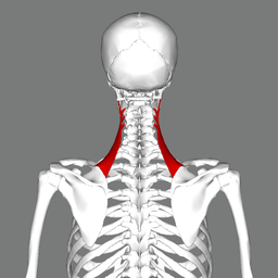 Levator scapulae muscle back