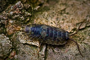 Woodlouse - Ligia oceanica is aquatic.