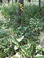 Ligularia sibirica sl10.jpg