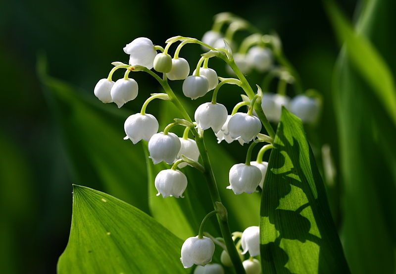 Lily of the valley 777