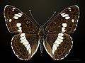 Limenitis camilla MHNT CUT 2013 3 15 Compiegne Dos.jpg