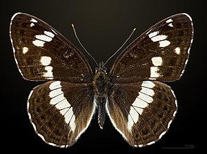 Limenitis camilla - Image: Limenitis camilla MHNT CUT 2013 3 15 Compiegne Dos