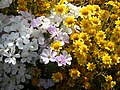 Linanthusgrandiflorus goldfields.jpg