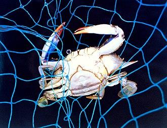 Callinectes sapidus - Image: Line 2243 Flickr NOAA Photo Library