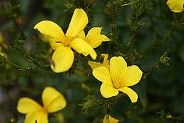 Linum-flavum-flower