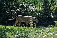 Lioness Panthera leo at Bronx Zoo 1.jpg