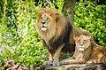 Lions (13931644242).jpg