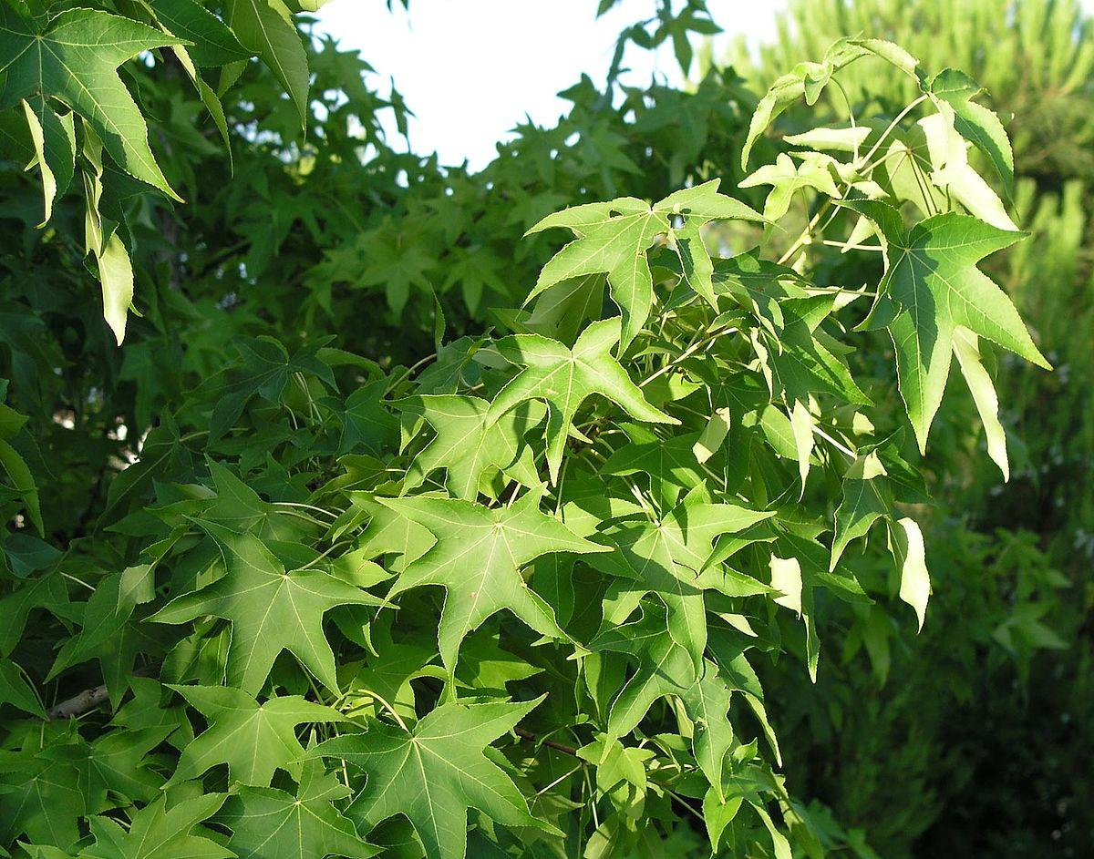 Liquidambar-styraciflua-foliage.jpg