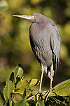 Little Blue Heron 9831