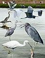 Little Blue Heron From The Crossley ID Guide Eastern Birds.jpg