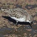 Little stint, Calidris minuta (Erolia minuta), at Marievale Nature Reserve, Gauteng, South Africa (45489023652).jpg