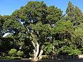 Live Oak Park Oak Quercus.jpg