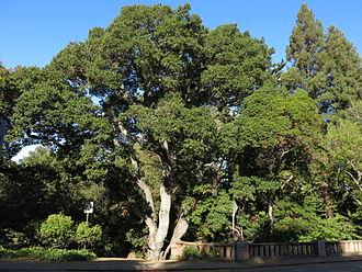 Live Oak Park (Berkeley) - Image: Live Oak Park Oak Quercus