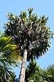 Livistona-chinensis-ak3.jpg