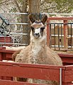 Llama at Pumpin Patch,10-2007 (6887775845).jpg