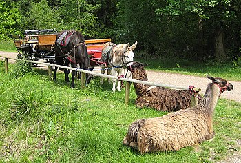 English: Llama trekking experience, Forest of ...