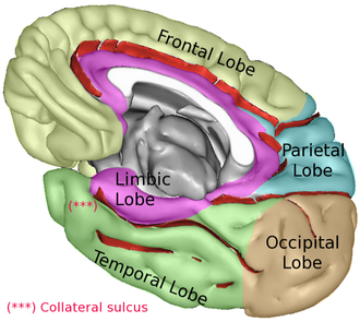 Lobes of the brain - Medial surface of cerebrum. 5 lobes are shown.