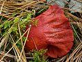 Lobster Mushroom.jpg