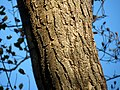 Locust (30130538373).jpg