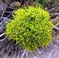 Lomatium parryi.jpg