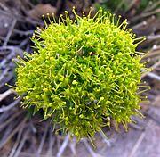عملية تلقيح الزهور 180px-Lomatium_parryi