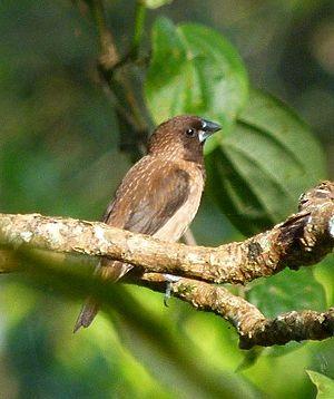 Black-throated munia - L. k. jerdoni