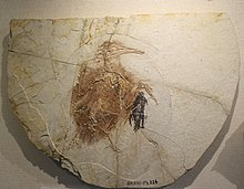 Longipteryx-Beijing Museum of Natural History.jpg