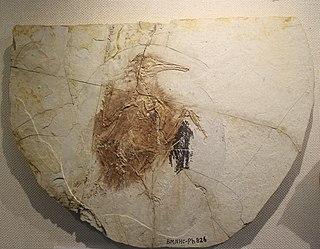 <i>Longipteryx</i> Genus of birds