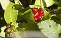 Lonicera caprifolium-4344.jpg