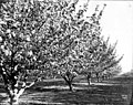Looking down a row of flowering trees in orchard, Yakima Valley, ca 1910s (INDOCC 1352).jpg