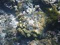LordHoweIsland NorthBay Reef 21.JPG