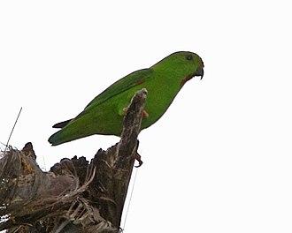 Great hanging parrot - Nominate subspecies L. s. stigmatus in Sulawesi