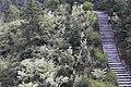 Loropetalum chinense - Shangrao, Jiangxi 2014.03.23 15-42-03.jpg