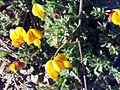 Lotus glareosus FlowersCloseup SierraNevada.jpg