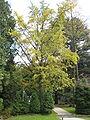 Lushan Botanical Garden-Ginkgo Tree 02.JPG