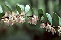Lyonia lucida.jpg