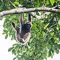 Müller's Bornean Gibbon (15023029621).jpg