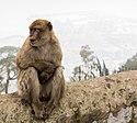 Macaco de Gibraltar (Macaca sylvanus), Peñón de Gibraltar, 2015-12-09, DD 09.JPG