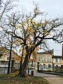 Maclura pomifera au parc de l'épinette à Libourne.jpg