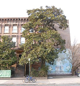 Magnolia Grandiflora Brooklyn Wikipedia