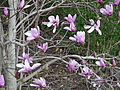 Magnolia liliiflora tree at Bristoe Station Battlefield; detail; Dumfries, VA; 2014-04-13.jpg