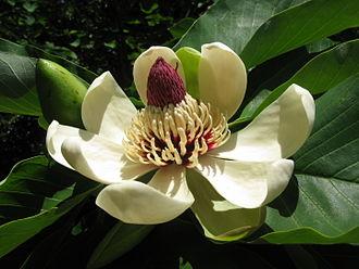 Magnolia obovata - Image: Magnolia obovata 10