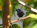 Male Loten's Sunbird.jpg