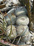 Mammillaria parkinsonii (5780641174).jpg