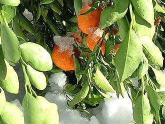 Mandarin orange - Mandarin oranges covered with snow