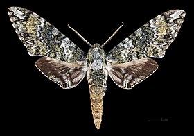 Sưu tập Bộ cánh vẩy 2 - Page 14 280px-Manduca_corallina_MHNT_CUT_2010_0_69_Catemaco_Veracruz_Mexico_male_dorsal