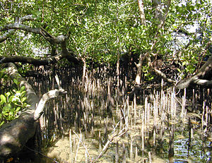 Sonneratia - Mangrove trees and pneumatophores of genus Sonneratia on the coast of Yap
