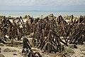 Mangrove roots, Havelock Island, Andamans.jpg