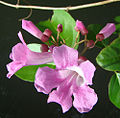 Mansoa hymenaea, flower of the Garlic Vine. (9268783629).jpg