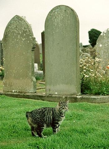 English: Manx cat, Maughold churchyard A very ...